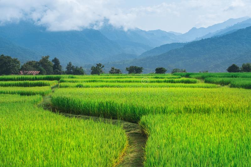 Reis-Feldweise auf grünem Feldhintergrund stockfotos
