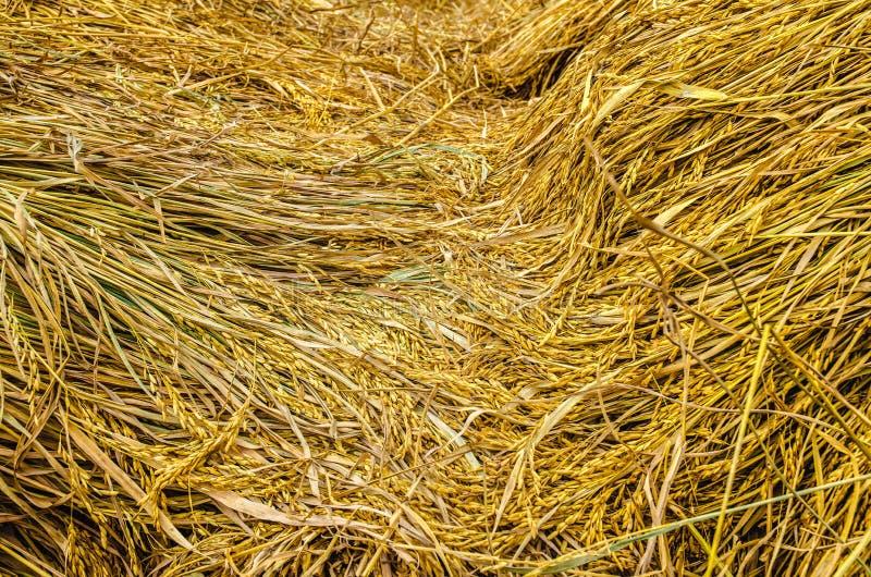 Reis golden stockbilder