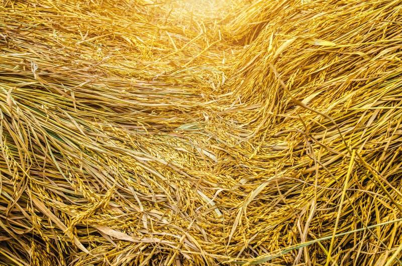 Reis golden lizenzfreies stockfoto