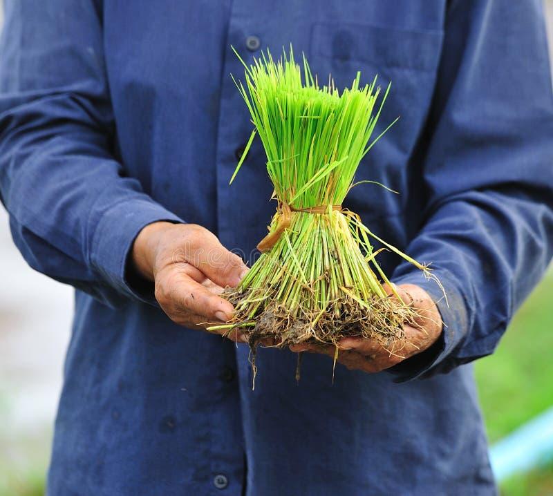 Reis im thehand stockfoto
