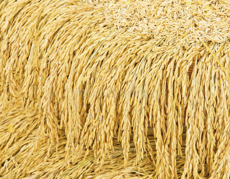 Reis ist die Nahrungsmittel, die im Kohlenhydrat hoch sind lizenzfreie stockfotografie