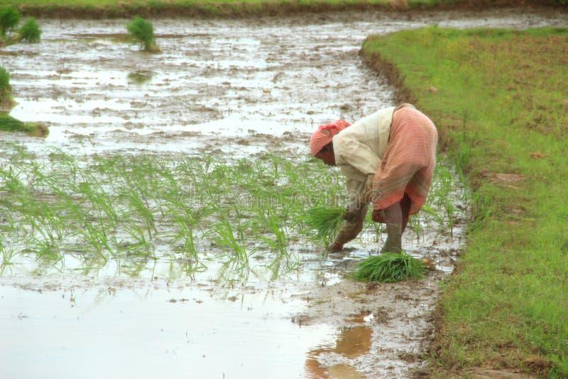 Reis-Landwirt. stockfoto
