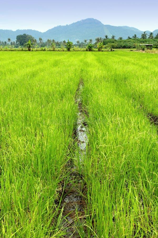 Reis-Paddy lizenzfreie stockfotografie