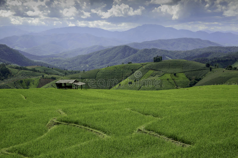 Reis Paddy Fields in Thailand stockfoto