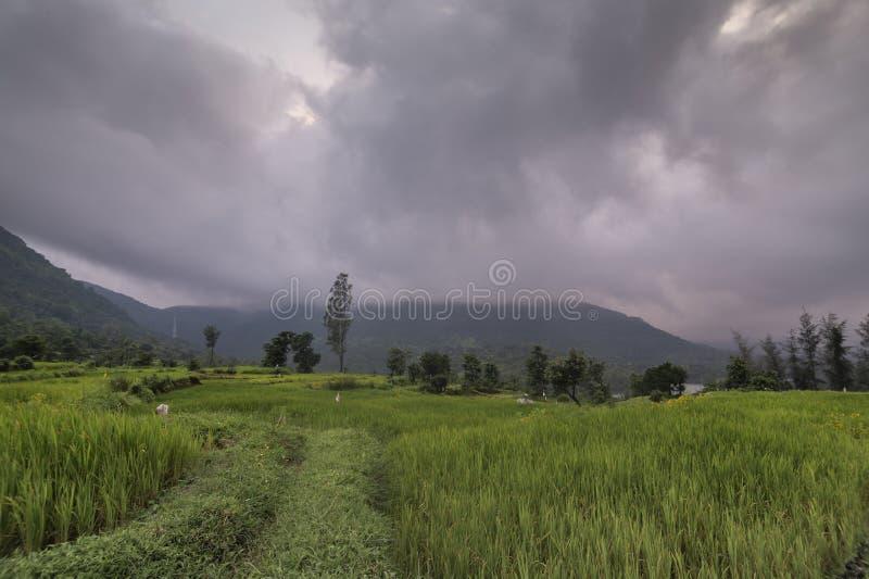 Reis Paddy während Monsoon bei Koyna nagar,Satara,Maharashtra,Indien lizenzfreie stockfotografie