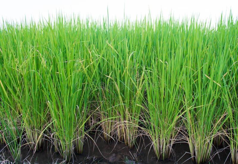 Reis produziert lizenzfreie stockfotografie
