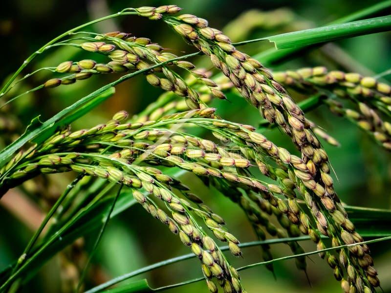 Reis reif für die Ernte stockfoto