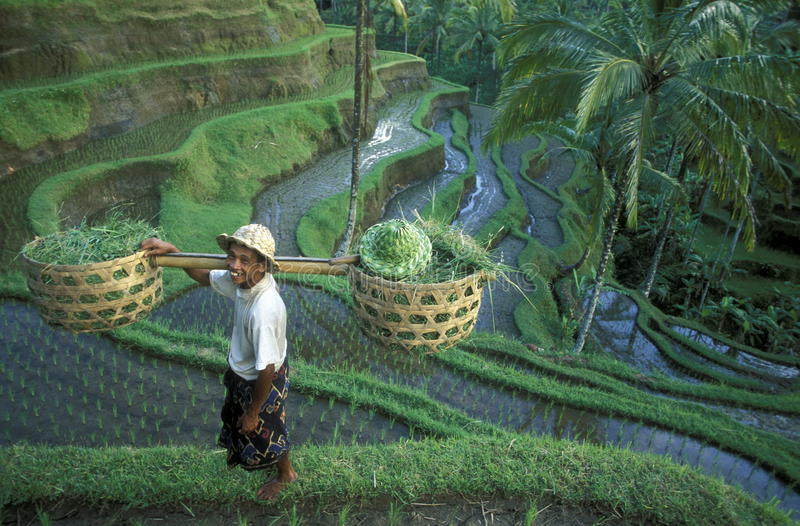 REIS-TERRASSE UBUD TEGALLALANG ASIENS INDONESIEN BALI stockfotografie