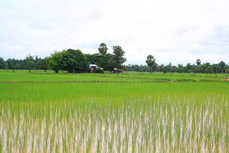 Reis, Thailand lizenzfreies stockfoto