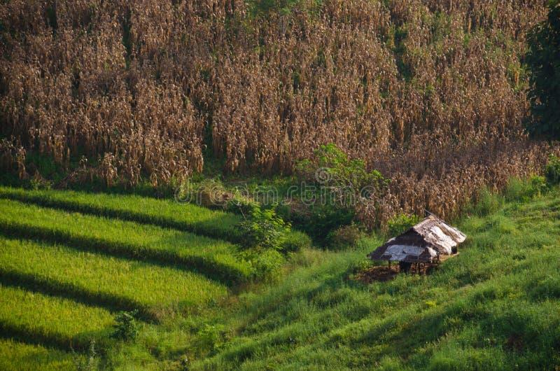 Reis- und Maisfeld lizenzfreies stockfoto