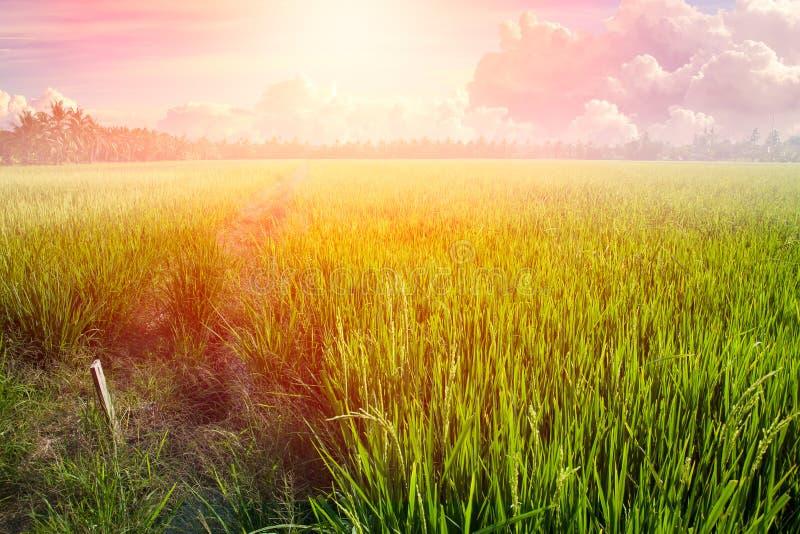 Reis-Weidelandschafts-Morgen-Sonnenaufgang oder Tagessommer-Licht lizenzfreie stockfotografie