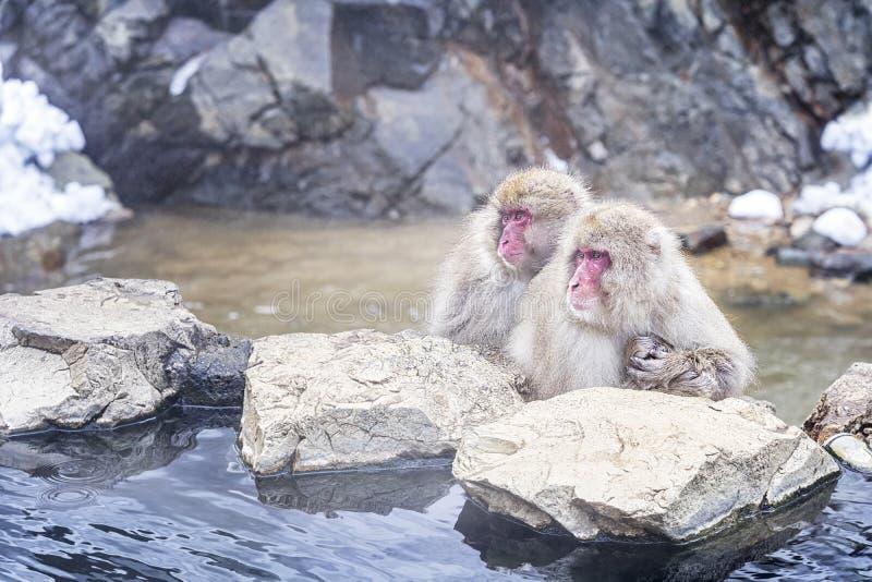 Reise Asien Japanische Affefamilie mit Eltern, Kinder tränken in onsen Rot--cheeked Affe Während des Winters können Sie lizenzfreie stockbilder