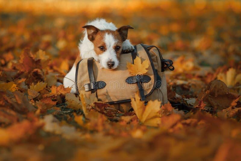 Reisen mit einem Hund Haustierherbst im Park Gelbe Blätter und Tasche stockfotografie