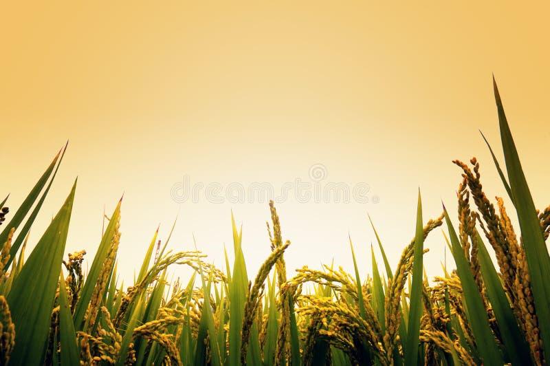 Reisfeld lizenzfreies stockfoto