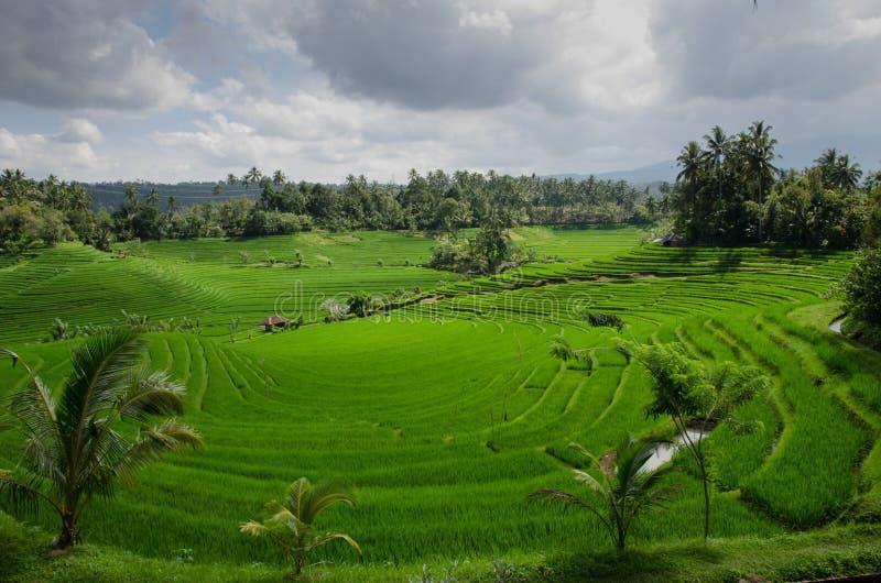 Reisfeld auf Bali lizenzfreie stockfotos
