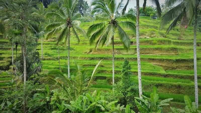 Reisfeld in Bali - Indonesien lizenzfreie stockbilder