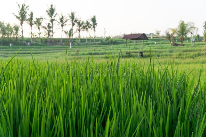 Reisfeld in Bali, Indonesien stockbild