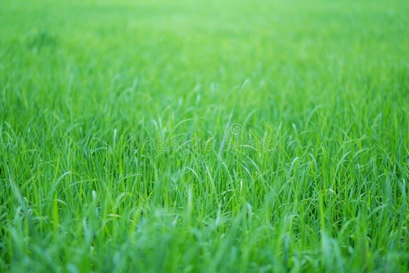 Reisfeld in der grünen Jahreszeit lizenzfreies stockbild