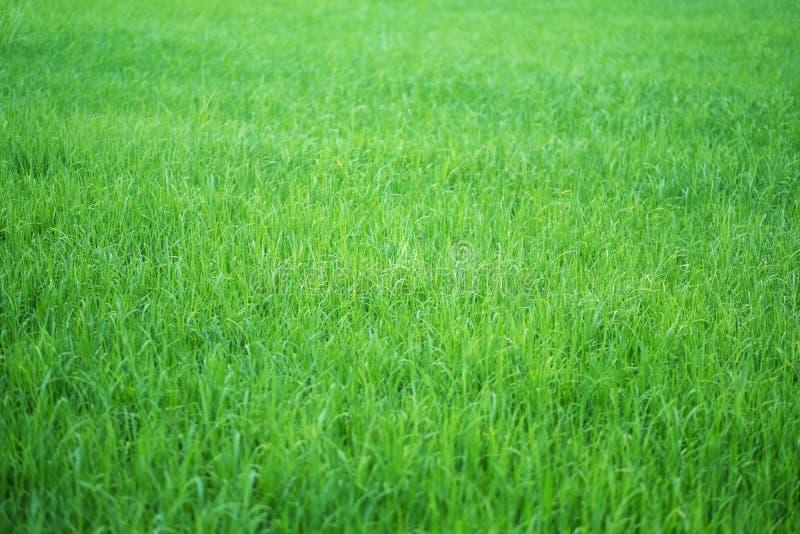 Reisfeld in der grünen Jahreszeit lizenzfreie stockfotos