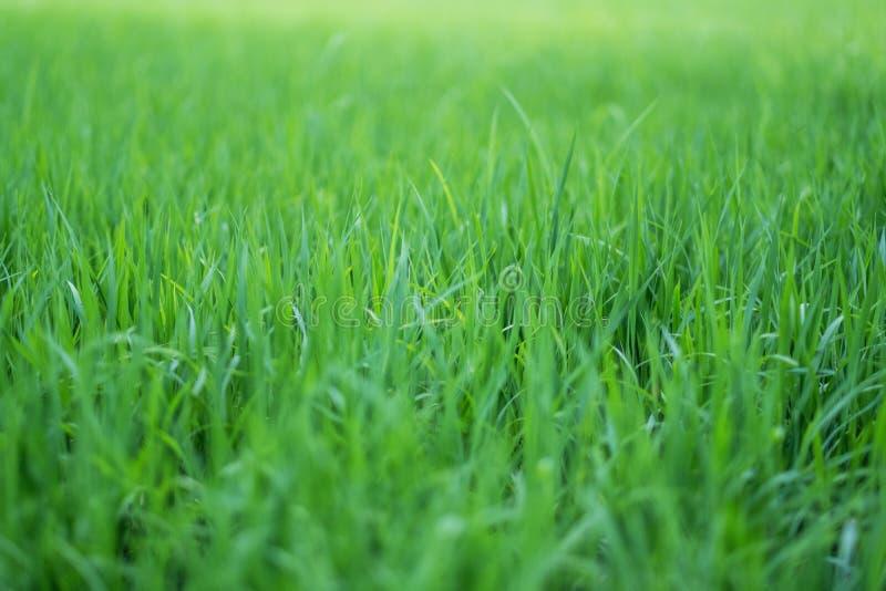 Reisfeld in der grünen Jahreszeit stockbild
