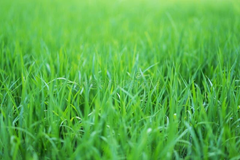 Reisfeld in der grünen Jahreszeit lizenzfreie stockbilder