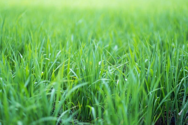 Reisfeld in der grünen Jahreszeit lizenzfreies stockfoto