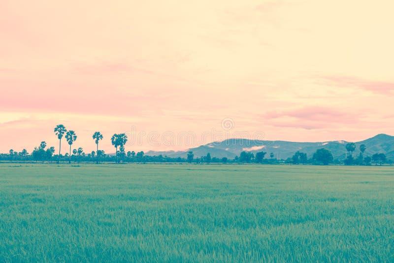 Reisfeld in der Regenzeit und Hintergrund des Gebirgsnebels Retr stockbilder