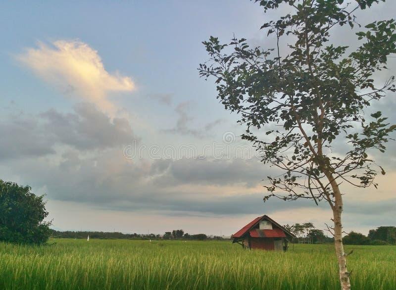 Reisfeld in einem Vorstadtgebiet stockfotos