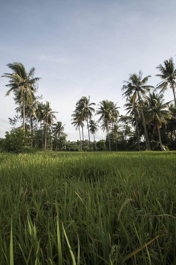 Reisfeld am Fuß des Vulkans Mayon lizenzfreies stockfoto