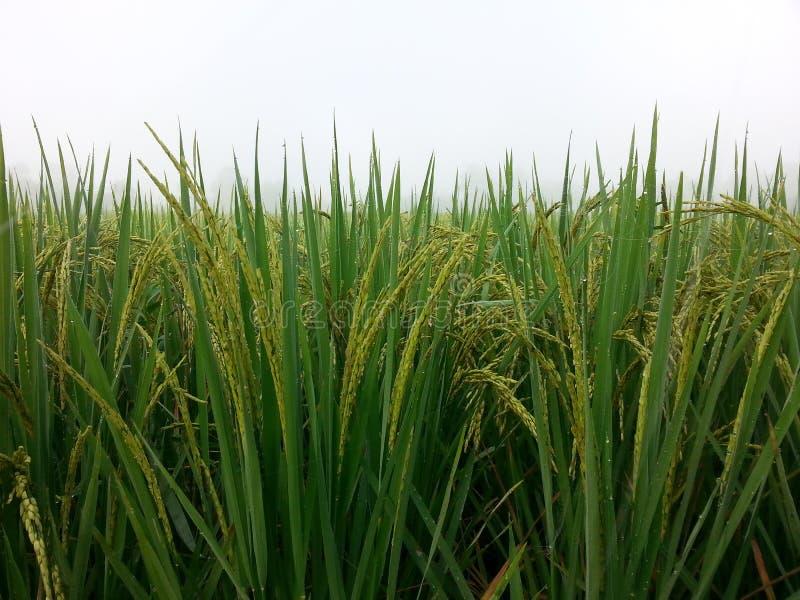 Reisfeld getrennt auf weißem Hintergrund stockbild