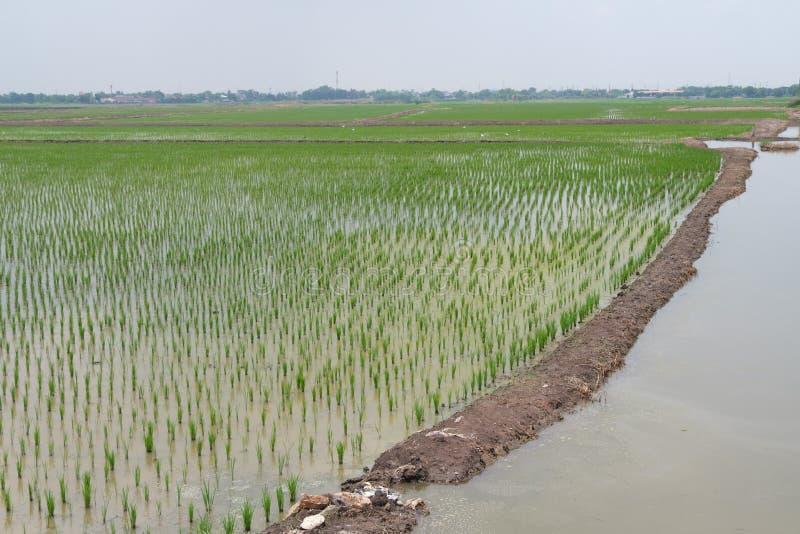 Reisfeld-Grünlandschaft, Landwirtschaftsbauernhof, Natur-schöne Asien-Landschaftsnahrung im Freien, die in Thailand bewirtschafte lizenzfreie stockfotos