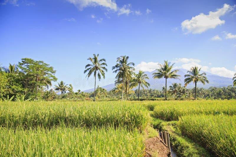 Reisfeld in Indonesien stockfotografie