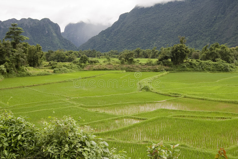 Reisfeld in Laos lizenzfreies stockbild