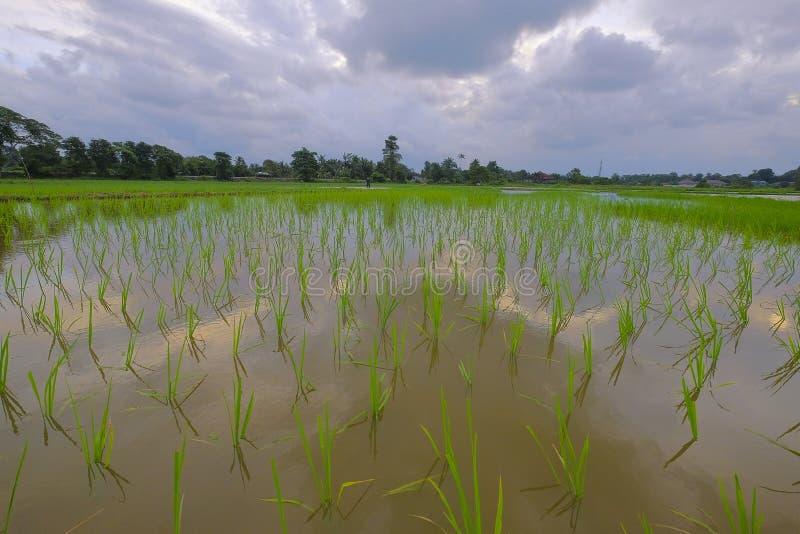 Reisfeld mit Himmelreflexion auf Wasser lizenzfreies stockbild