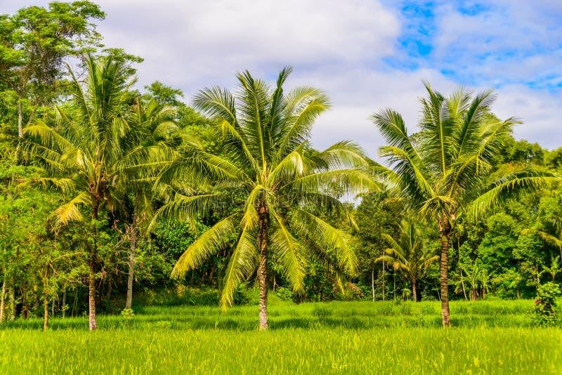 Reisfeld mit Kokosnussbäumen stockfoto