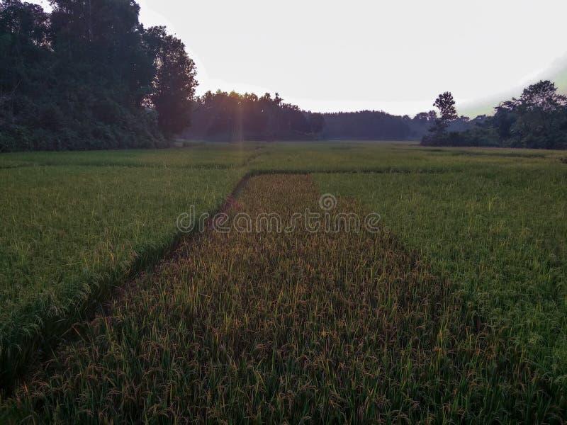 Reisfeld mit Sonnenuntergangansicht lizenzfreies stockbild