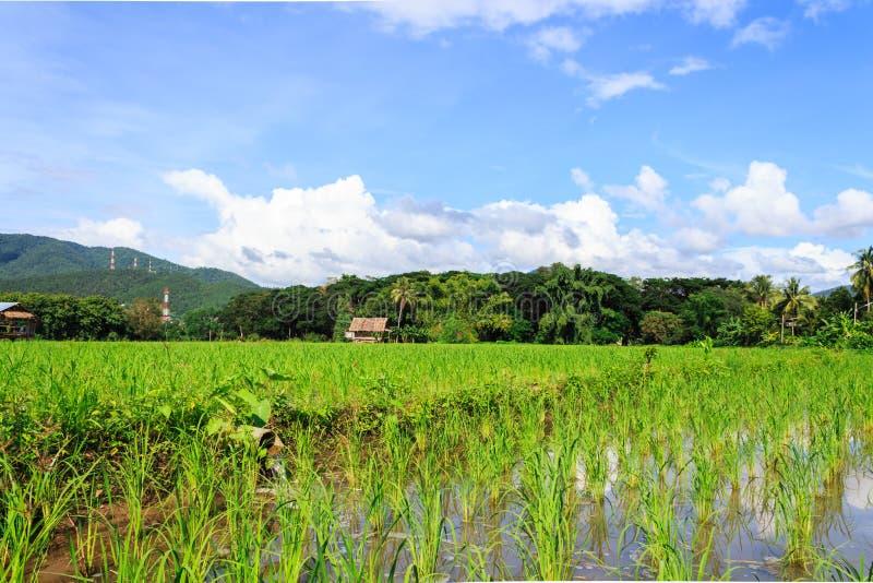 Reisfeld am Mittag lizenzfreie stockfotos