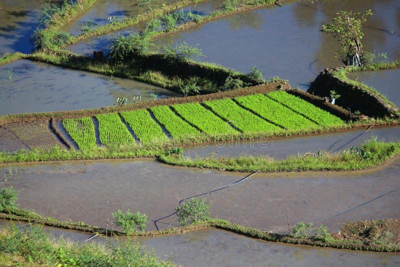 Reisfeld, Philippinen lizenzfreie stockbilder