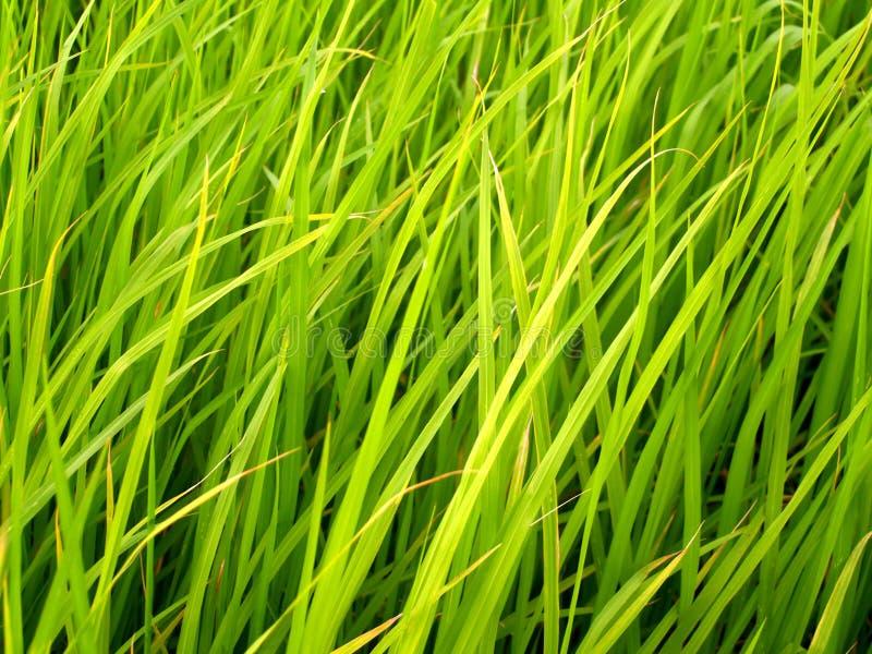 Reisfeld in Thailand 4 stockfoto