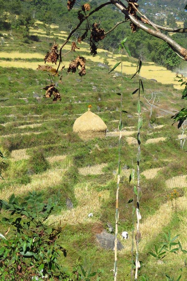 Reisfeld und Stapel des Reisstrohs trocknend unter der Sonne, Sekha, Nepal lizenzfreie stockbilder