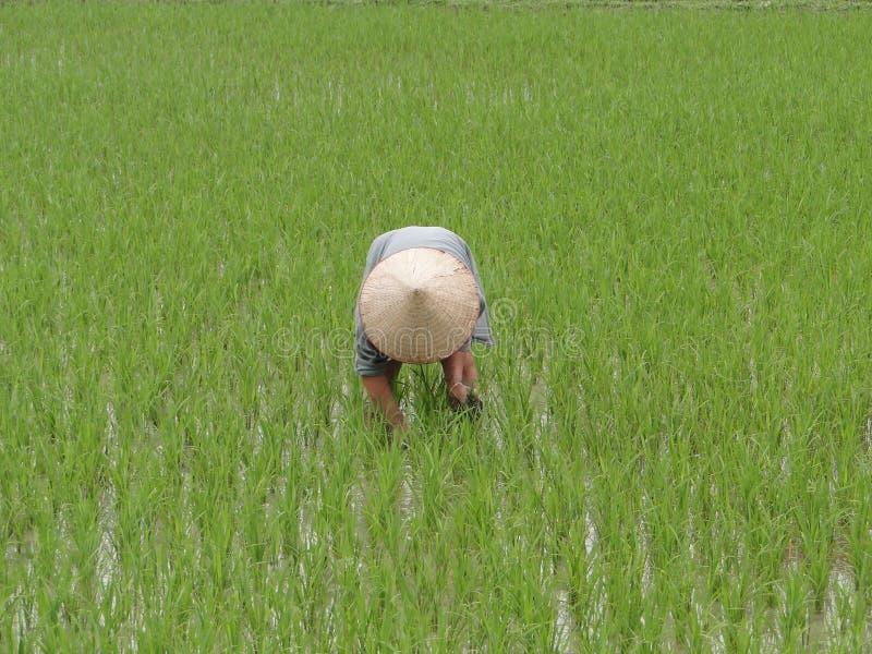 Reisfeld, Vietnam stockbild