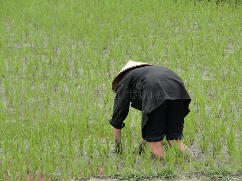 Reisfeld, Vietnam stockfotos