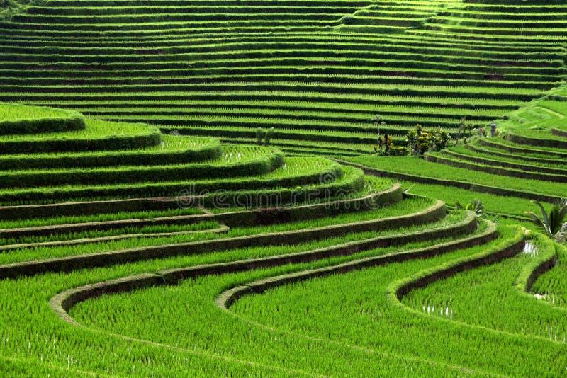 Reisfelder stockbild
