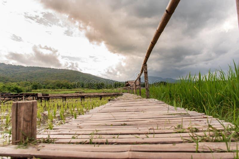 Reisfelder haben gerade begonnen zu wachsen lizenzfreie stockbilder