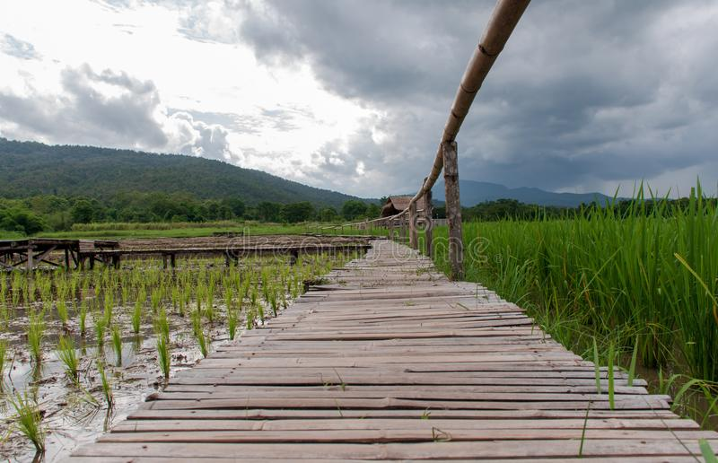 Reisfelder haben gerade begonnen zu wachsen stockfoto