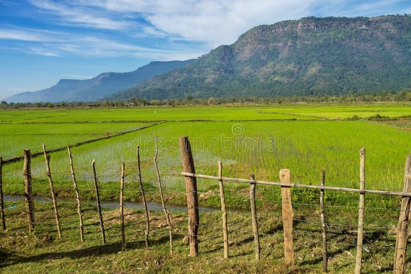Reisfelder im Champasak-Tal, Laos lizenzfreie stockbilder