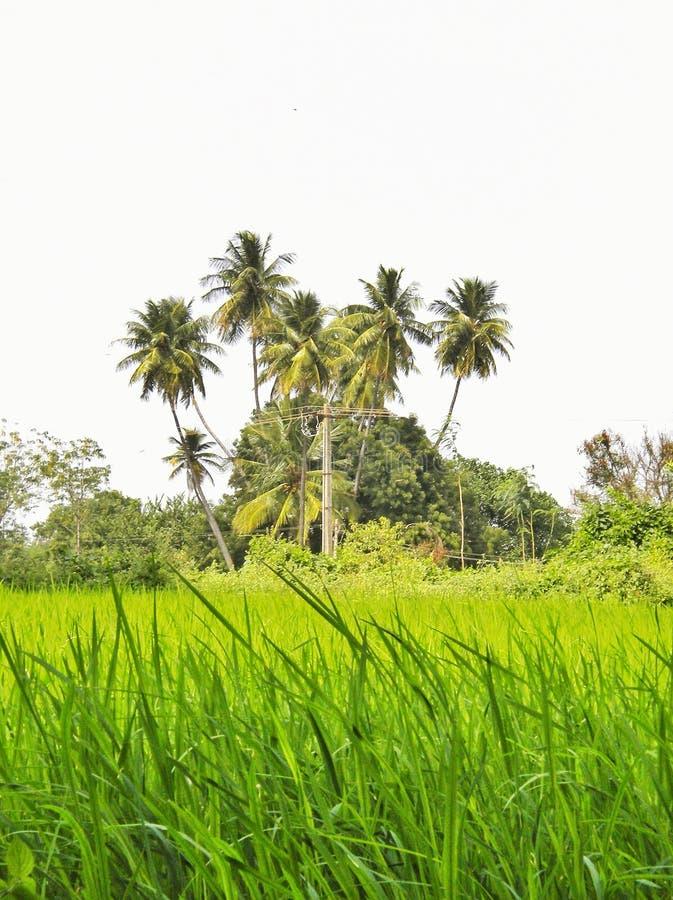Reisfelder mit Kokosnussbäumen im Hintergrund in einem Dorf im Tamil Nadu stockfoto