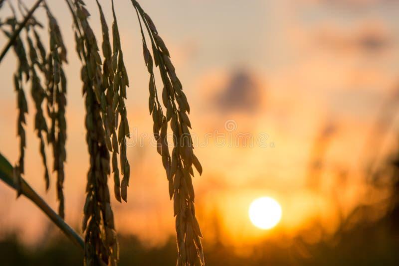 Reisfelder in Süd-Thailand, natürlicher Sonnenaufganghintergrund stockfotos