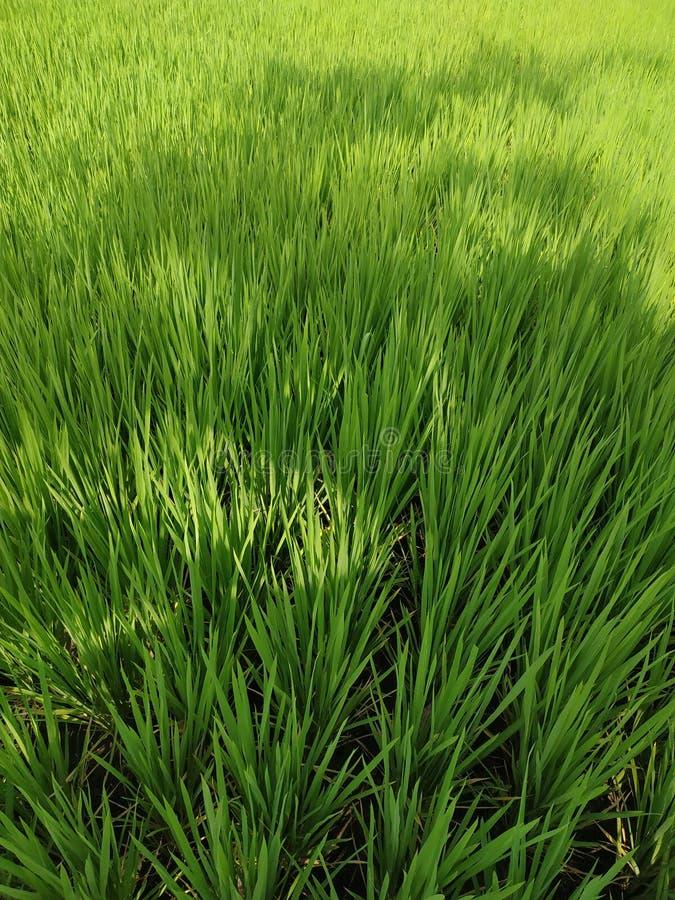 Reisfelder schließen grünen jungen Baum stockfotografie