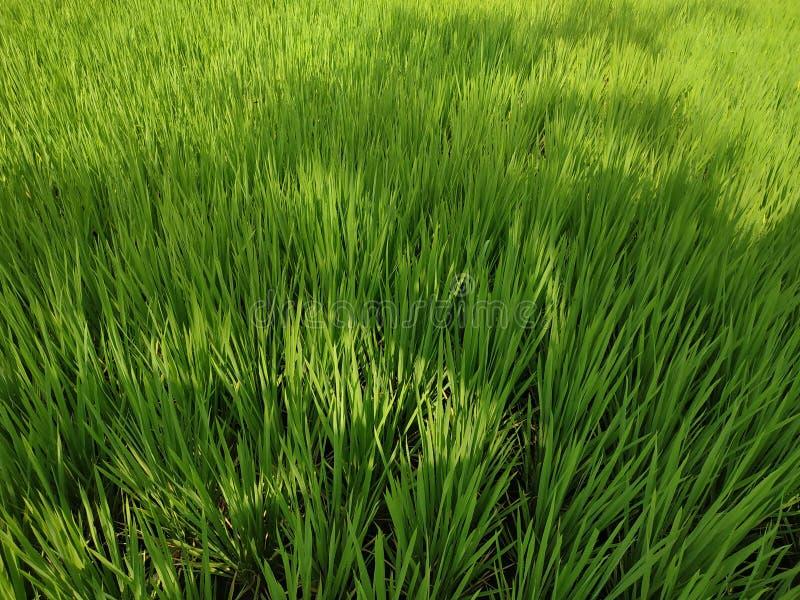 Reisfelder schließen grünen jungen Baum stockbild